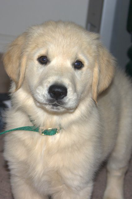 8 week old golden retriever puppy pictures. Luke is a 8 1/2 week-old